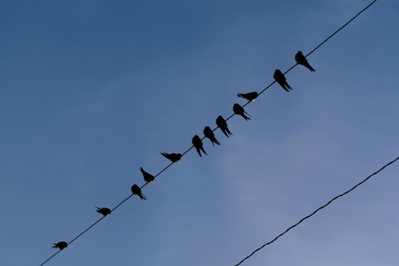 The young common swallows sit on a line. Stock Photo - 8522898
