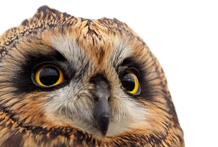 birds eye view: Portrait of the Short-eared Owl ona white background.