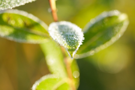 The leaf of a willow covered hoarfrost. photo