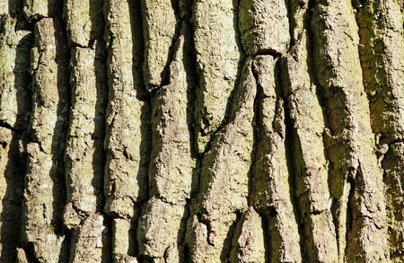 The bark of an oak closeup. Stock Photo - 8654185