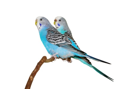 Two budgerigars on a white background. photo