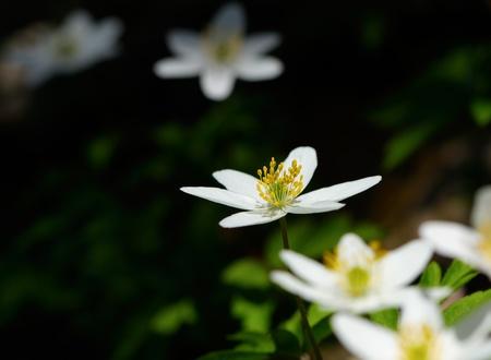 flowering plant: Anemone nemorosa - inizio primavera pianta in fiore.