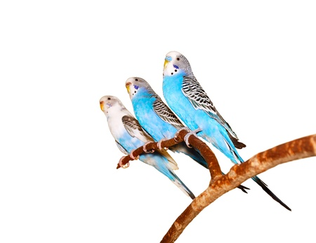Three budgerigars on a white background. photo