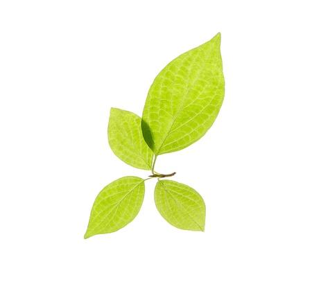 Four leaves Bird cherry on white background. Stock Photo - 9809971