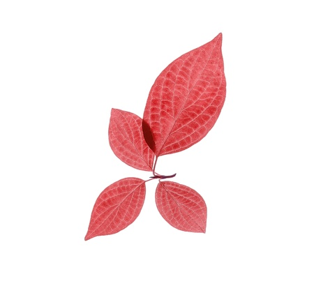 Four red leaves on white. Stock Photo - 9810140