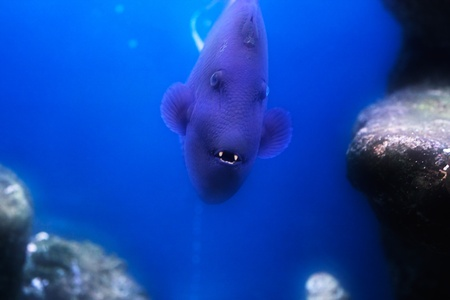 Redtooth triggerfish (Odonus niger) with open mouth. Stock Photo - 9966759