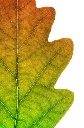Fragment of an Oak sheet on white. Color effect. Stock Photo