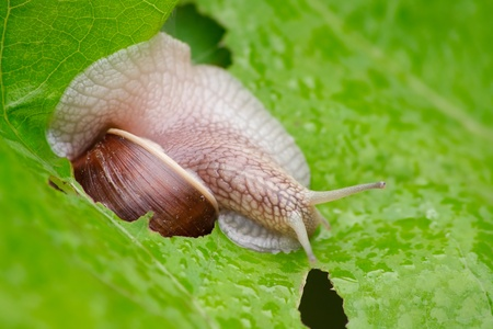 grape snail: The grape snail on a leaf.