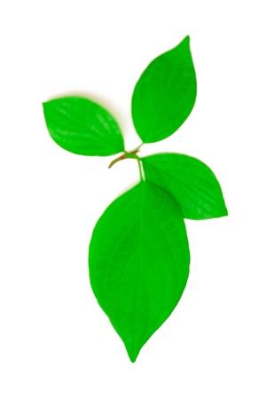 Four leaves Bird cherry on white. Stock Photo - 9966821
