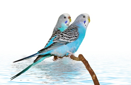 Two budgerigars over blue water.