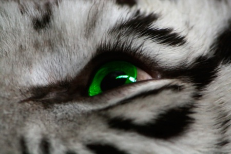 Eye of the white tiger close up. photo