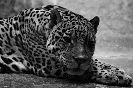 jaguar in zoo. Black and white. Stock Photo - 9966835