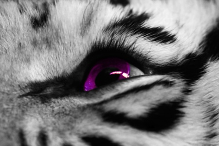 multicolored eye macro: Eye of the white tiger close up.