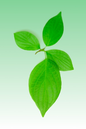 Four leaves Bird cherry on a green background. Stock Photo - 9966838