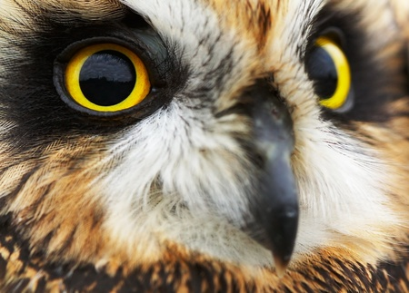 Portrait of the Short-eared Owl  (Asio flammeus).