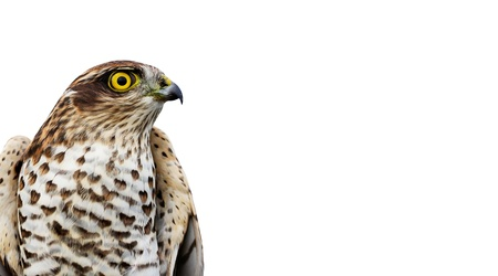 sparrowhawk: The sparrow-hawk on a white background. Aspect ratio as business card.