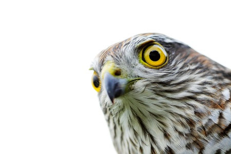 The sparrow-hawk on a white background. Stock Photo - 11279786