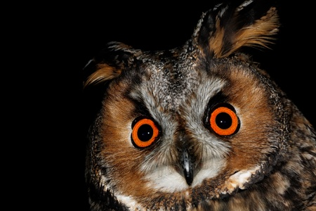 Birds of Europe and World - Long-Eared Owl (Asio otus). photo