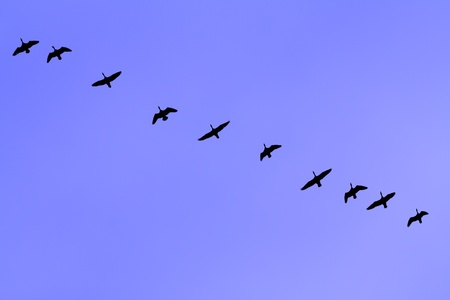 The wild-gooses to fly on a sky background. photo