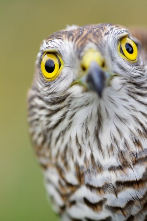 Birds of Europe - Sparrow-hawk (Accipiter nisus). Stock Photo - 11536564