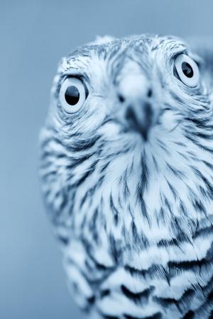 sparrowhawk: Birds of Europe - Sparrow-hawk (Accipiter nisus). Blue tone.