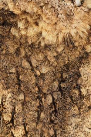 Fragment of plumage of collared scops-owl (Otus bakkamoena). photo