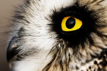 lechuzas: Retrato del búho de orejas cortas (Asio flammeus).