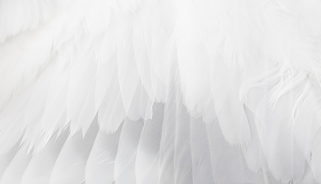 the ostrich: The white wing close up.