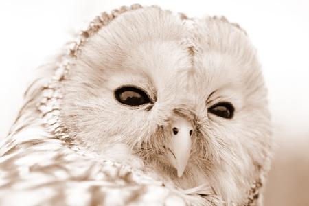 Portrait of Ural Owl (Strix uralensis). Sepia color tone. photo