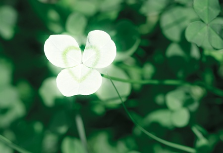 Clover is symbol of Saint Patricks Day in Ireland. photo