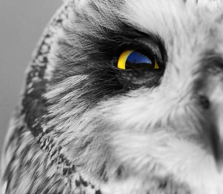 Portrait of the Short-eared Owl  (Asio flammeus).