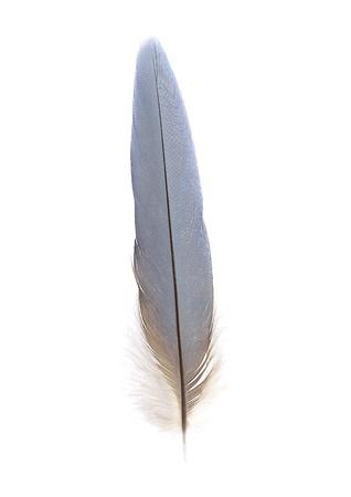 白のコンゴウインコの尾羽根。