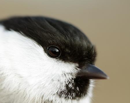Portrait of Willow Tit (Parus montanus) closeup. photo