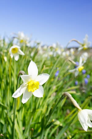 The bed of narcissus against blue sky. photo