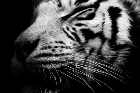 The tiger head in a darkness. Black and white. photo