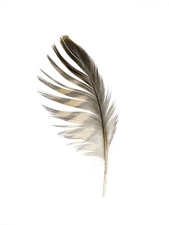 black feather: The feather of a Merlin on white.