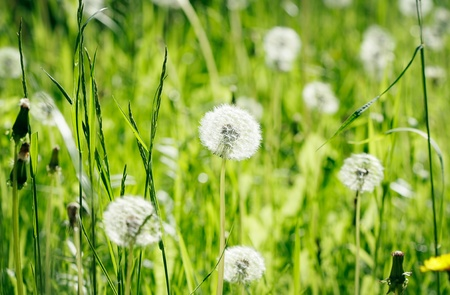 dandelion on a field Stock Photo - 13422128