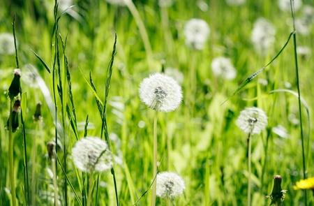 dandelion on a field Stock Photo - 13422128