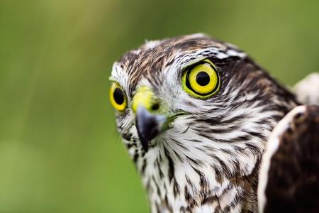 sparrowhawk: Sparrow-hawk (Accipiter nisus) in a wildlife. Stock Photo