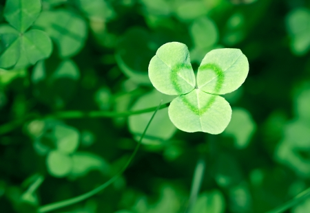 irish symbols: Clover is symbol of Saint Patricks Day in Ireland. Stock Photo