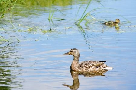 nestling: The female of Mallard Duck and her nestling.