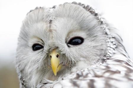 ural owl: Portrait of Ural Owl (Strix uralensis).