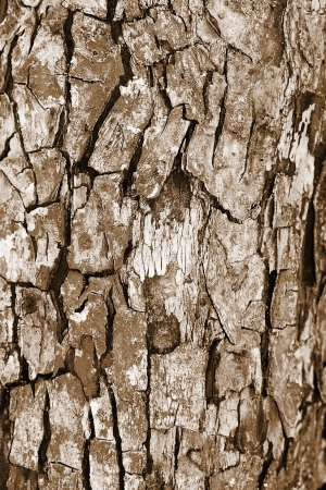 The bark of a tree closeup. Sepia color tone. Stock Photo - 13631584