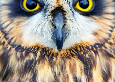 Short-eared Owl  (Asio flammeus) close up. Stock Photo - 13631452