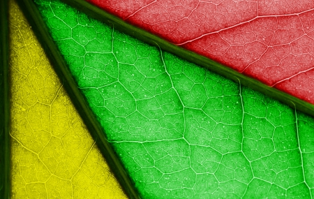 Multicolored leaf closeup. Red, green, yellow. photo