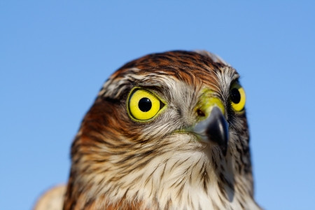 Birds of Europe - Sparrow-hawk (Accipiter nisus). Stock Photo - 16540072