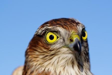 Birds of Europe - Sparrow-hawk (Accipiter nisus). Stock Photo - 16540072