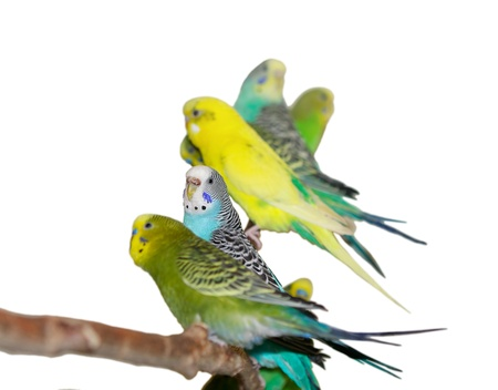 Budgerigars on a white background.