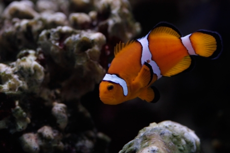 The tropical fish - Clown Fish. Stock Photo - 16681514