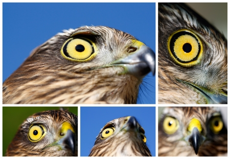 sparrowhawk: Collage from portraits of Sparrow-hawk (Accipiter nisus).
